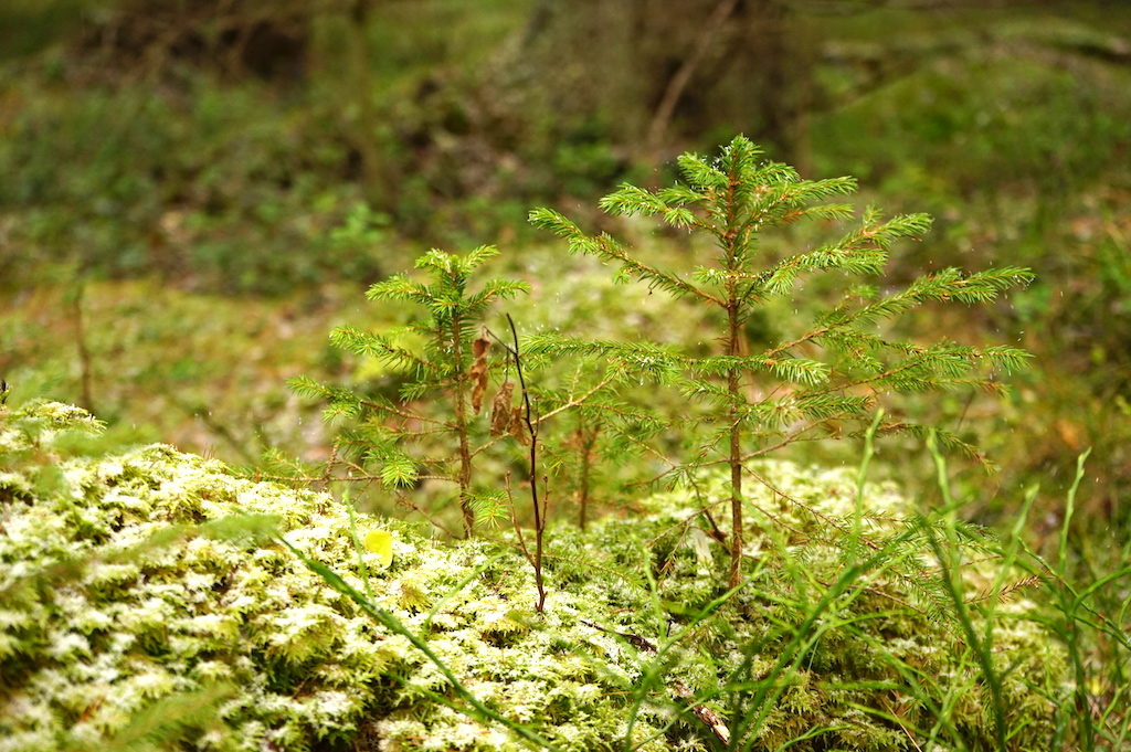 Small fir trees in a forest