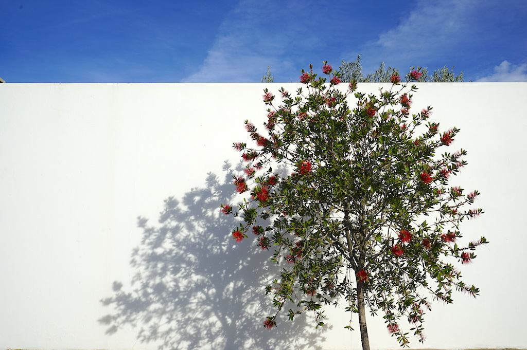 a tree with red fruits in front of a white wall